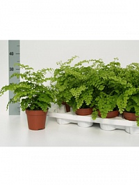 Адиантум Раддиантум Фрагранс Диаметр горшка — 12 см Высота растения — 30 см