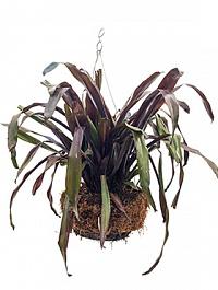 Эхмея racinae hanging basket Диаметр горшка — 35 см Высота растения — 55 см