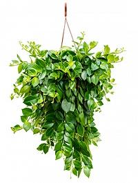 Эсхинантус mona lisa hanger (60-80) Диаметр горшка — 20 см Высота растения — 50 см