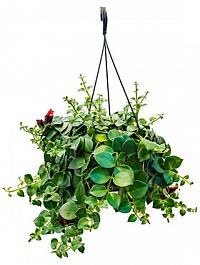 Эсхинантус mona lisa hanger Диаметр горшка — 20 см Высота растения — 40 см