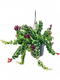 Эсхинантус twister xl hanger Диаметр горшка — 15 см Высота растения — 50 см