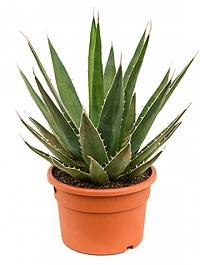 Агава triangularis Диаметр горшка — 27 см Высота растения — 50 см
