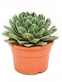 Агава victoria reginae Диаметр горшка — 27 см Высота растения — 40 см
