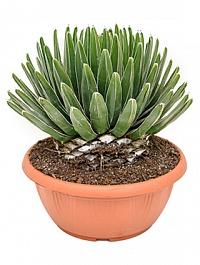 Агава victoria reginae Диаметр горшка — 40 см Высота растения — 45 см