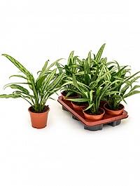 Аглаонема cutlass tuft Диаметр горшка — 12 см Высота растения — 35 см
