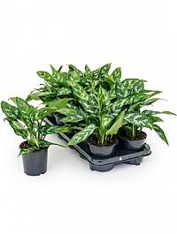 Аглаонема maria Диаметр горшка — 11 см Высота растения — 25 см