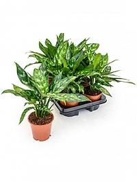 Аглаонема maria Диаметр горшка — 12 см Высота растения — 35 см