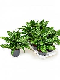 Аглаонема maria Диаметр горшка — 14 см Высота растения — 30 см