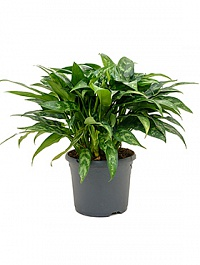 Аглаонема maria tuft Диаметр горшка — 23 см Высота растения — 45 см