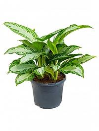 Аглаонема silver bay tuft Диаметр горшка — 23 см Высота растения — 45 см
