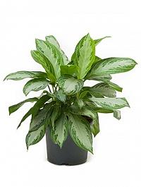 Аглаонема silver bay tuft Диаметр горшка — 26 см Высота растения — 40 см