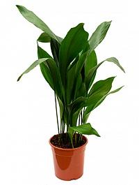Аспидистра elatior tuft (100-110) Диаметр горшка — 24 см Высота растения — 110 см