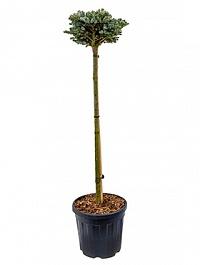 Пихта koreana kohout's icebreaker stam boll Диаметр горшка — 32 см Высота растения — 130 см