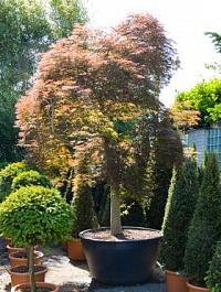 Клён palmatum branched Диаметр горшка — 120 см Высота растения — 375 см