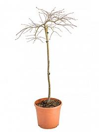 Клён palmatum crimson queen стебель Диаметр горшка — 35 см Высота растения — 140 см