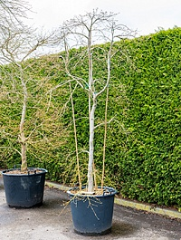 Клён palmatum dissectum стебель branched Диаметр горшка — 60 см Высота растения — 250 см
