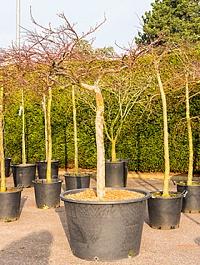 Клён palmatum garnet стебель Диаметр горшка — 80 см Высота растения — 200 см