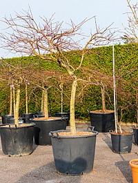 Клён palmatum inaba shidare стебель Диаметр горшка — 60 см Высота растения — 160 см