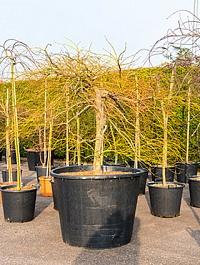 Клён palmatum ornatum branched Диаметр горшка — 90 см Высота растения — 200 см