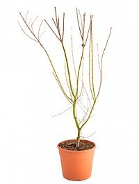 Клён palmatum Финиковая пальма branched Диаметр горшка — 28 см Высота растения — 125 см
