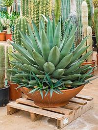 Агава nigra Диаметр горшка — 60 см Высота растения — 70 см