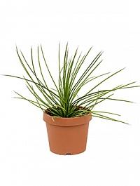 Агава stricta Диаметр горшка — 21 см Высота растения — 25 см