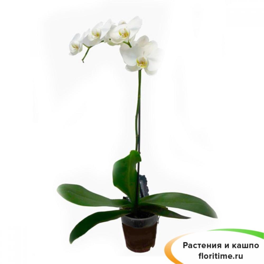 Фаленопсис белый каскад 1 ствол