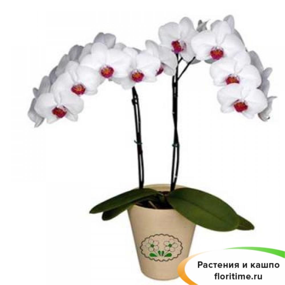Фаленопсис Галифакс 2 стебля