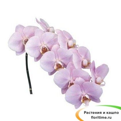Фаленопсис Манилла 2 стебля
