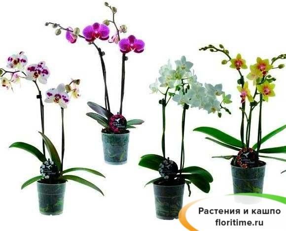 Фаленопсис микс 2 стебля