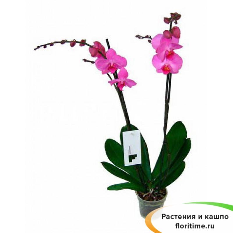 Фаленопсис Пинк Твайлайт 2 стебля