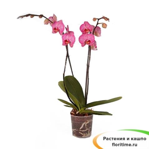 Фаленопсис Хэппи Минхо 2 стебля