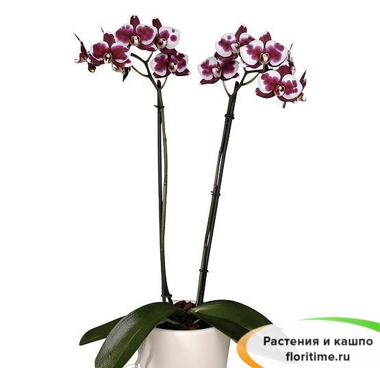 Фаленопсис Полка Дотс 2 стебля