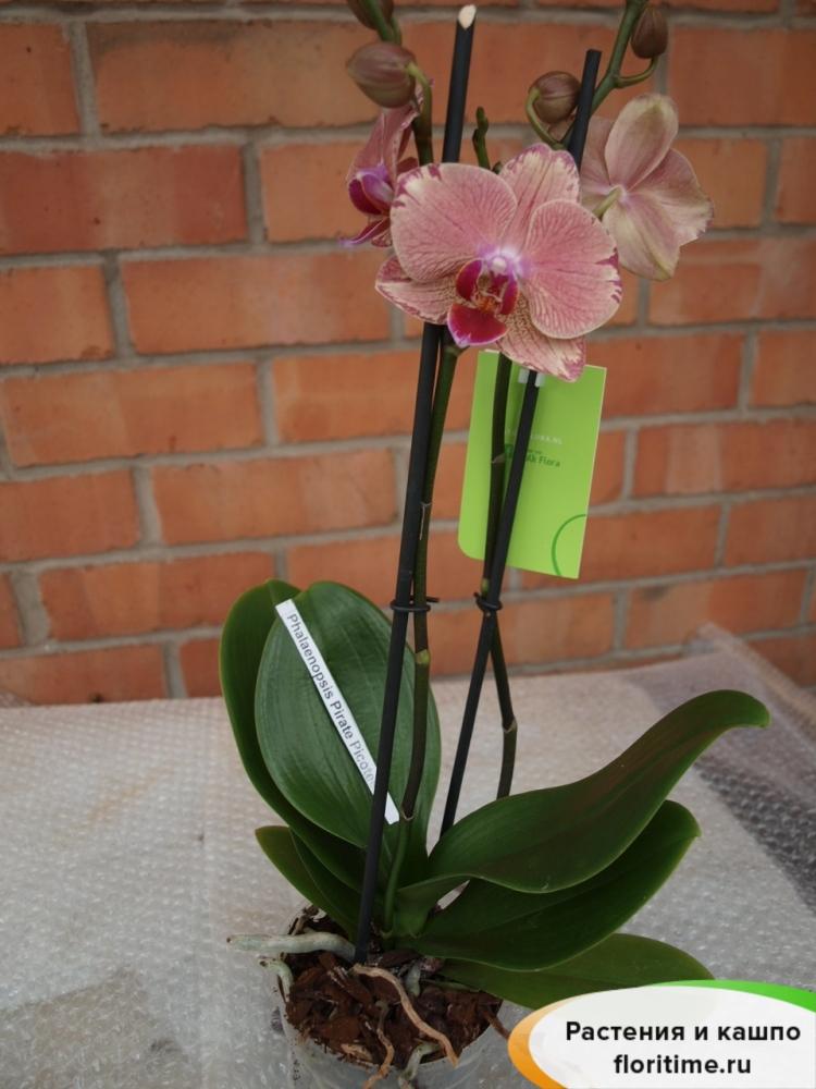 Фаленопсис Пирейт Пикоте 2 стебля