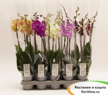 Фаленопсис микс 3 стебля