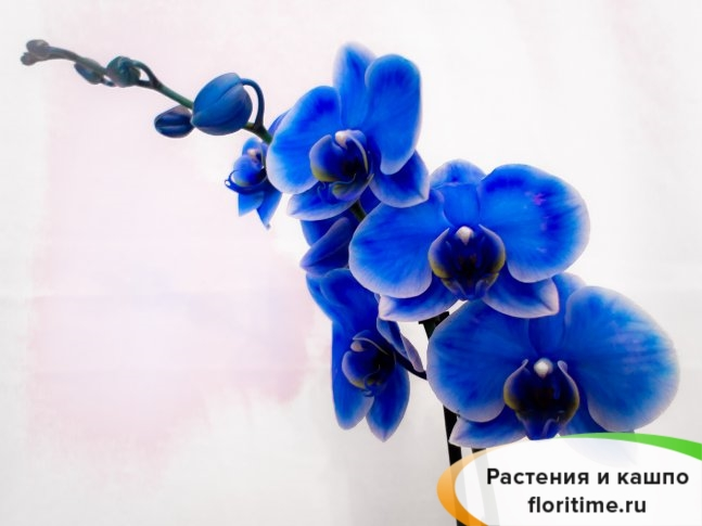 Фаленопсис Королевский голубой 1 стебель