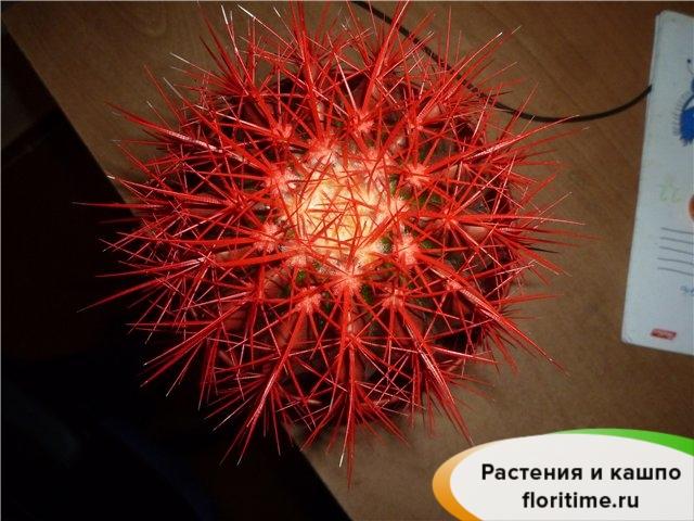 Эхинокактус Грузони красный