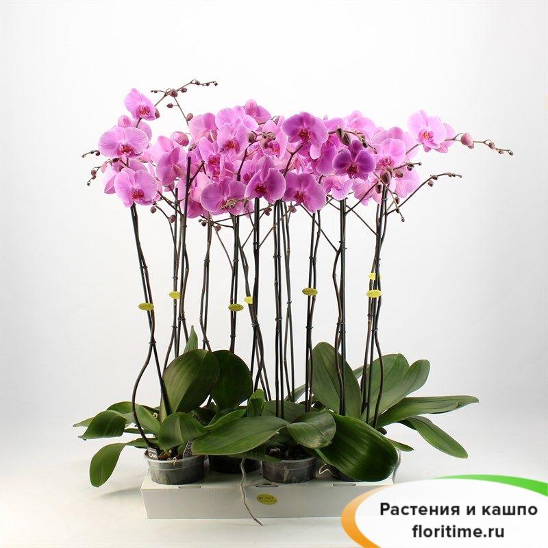 Фаленопсис Бомбей 2 стебля