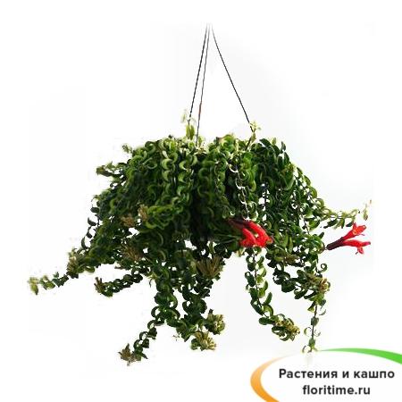 Эсхинантус Твистер подвесной