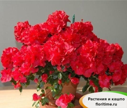 Азалия Индика Красная