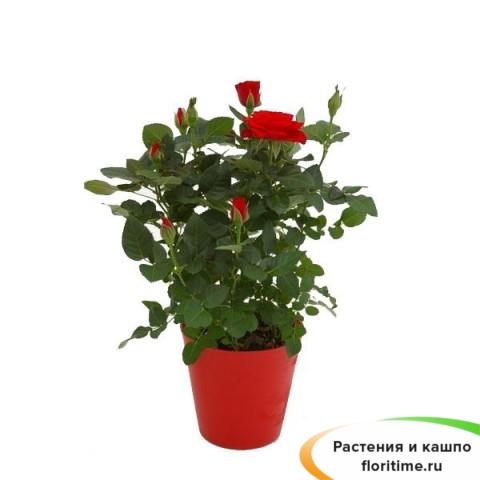 Роза Кордана красная Кармен