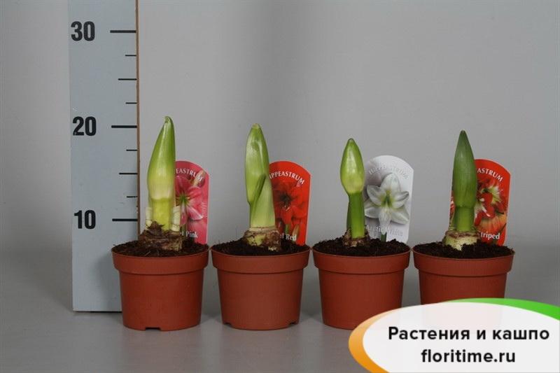 Гиппеаструм-Амариллис 2 луковицы