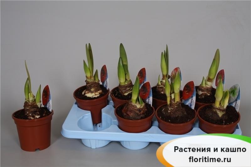 Гиппеаструм-Амариллис Колибри 1-2 стебля