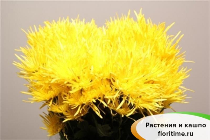 Хризантема Спайдер желтая