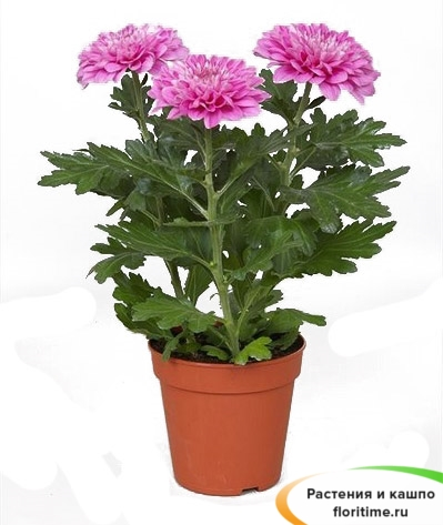 Хризантема Зембла пурпурная