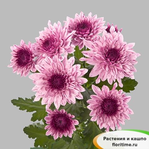 Хризантема Зембла Вип