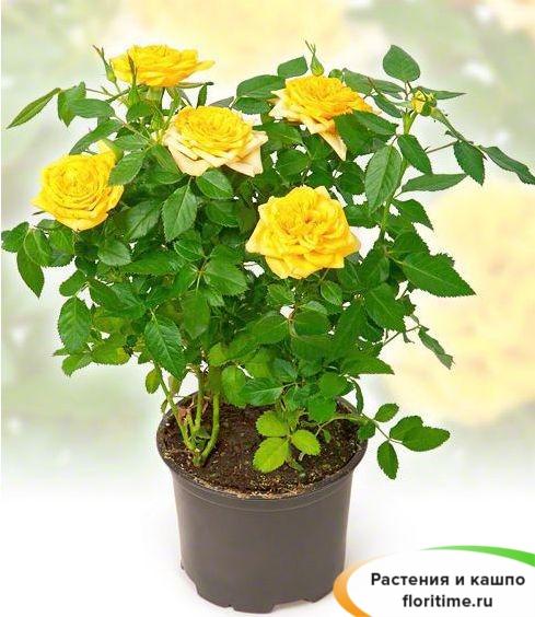 Роза Патио желтая Солеро
