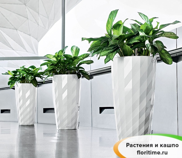 Аглаонема Сильвер Бэй