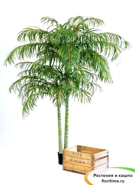 Пальма Арека двухствольная