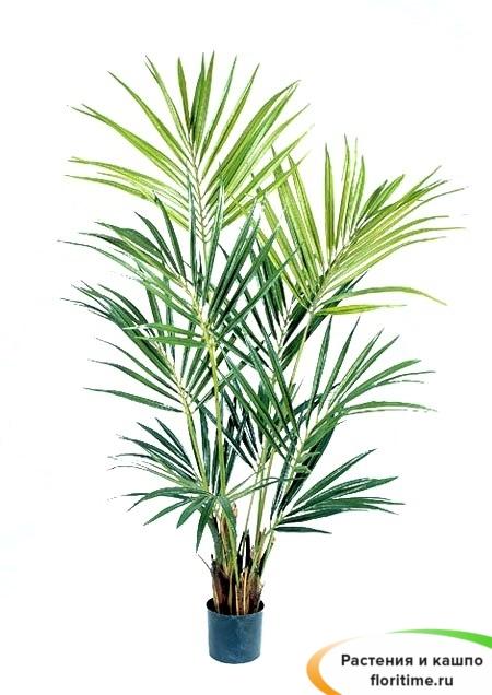 Пальма Кентия